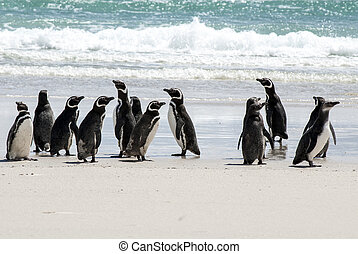 Magellanic Penguins on the beach - Magellanic Penguin -...
