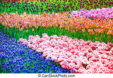 Tulip flowers garden in spring background or pattern - Tulip...