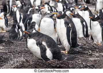 Gentoo Penguins Colony