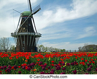Dutch windmill in a field of blooming tulips - A Dutch...