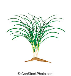 A Fresh Lemon Grass Plant on White Background - Vegetable...
