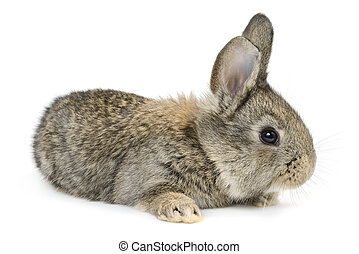 rabbit isolated on white background - little rabbit isolated...