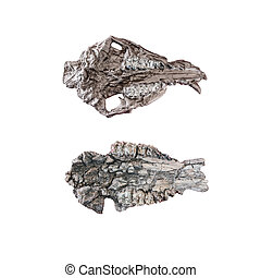 close up of a fossil skeleton dinosaur on white background with clipping path
