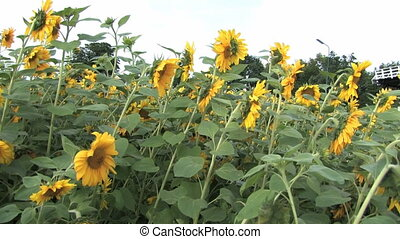 Sunflowers waving in the wind