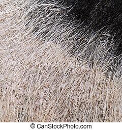 domestic pig fur