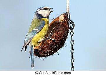 small garden bird on feeder - hungry small garden bird blue...