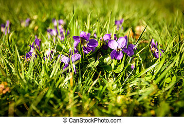 Viola - Small viola wild flowers in grass on a meadow.