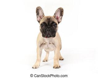 Purebred dog - Shudio shot of small dog looking directly at...