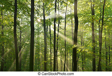 forest trees - Beautidul sunbeams in green forest