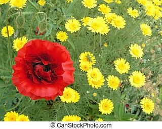 papaver on meadow. closeup