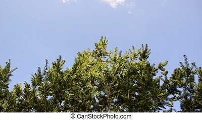 yew bush branches sky - Coniferous yew bush branches move in...