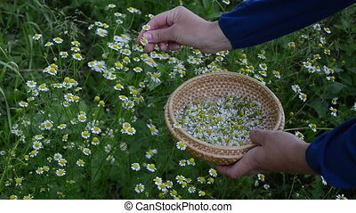 hand camomile herb pick - Hand pick camomile herbal flower...