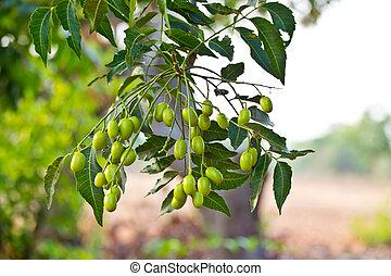 seed-azadirachta,  neem,  indica