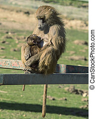 Mother and baby baboon - Mother baboon feeding her baby...
