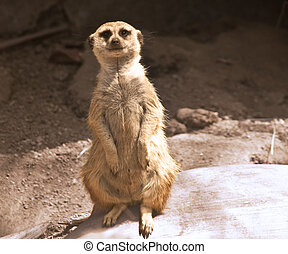 Meerkat - This is a picture of a meerkat looking at you