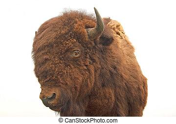 Stuffed Buffalo - Stuffed buffalo closeup on a white...