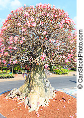 fiore, albero,  adenium,  bonsai,  obesum, Deserto