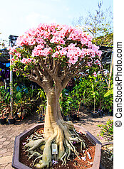 Deserto, fiore, adenium, obesum, bonsai, albero