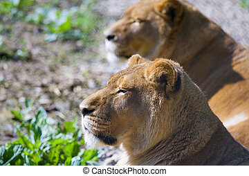Two lions - Two female lions at feline rescue center in...