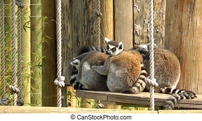 Lemur Family in the nature