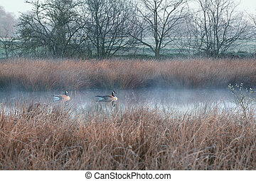 couple of Canada goose on misty swamp during cold frosty...