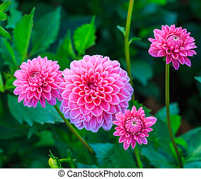 Colorful dahlia flower