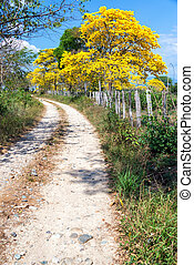 Guayacan Tree - Yellow Guayacan tree in dirt road near Santa...