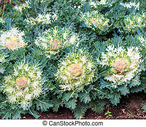 Fancy colored cabbage is grown as an ornamental plant.