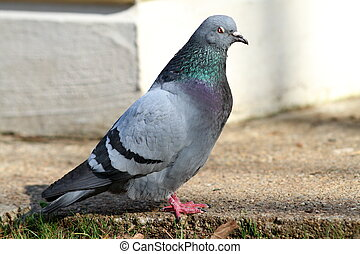male feral pigeon standing on an alley from the park,...