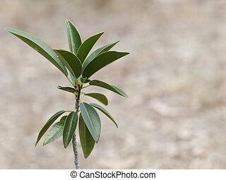 Australiano, figo, árvore, ficus, obliqua, sabido,...