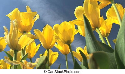 Yellow Tulips - Tulip festival, Woodburn, Oregon, low angle...