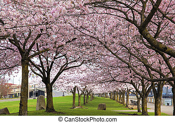 Rows of Cherry Blossom Trees in Bloom - Rows of Japanese...