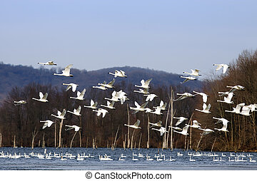 Tundra Swans Flying From Lake - A flock of Tundra Swans fly...