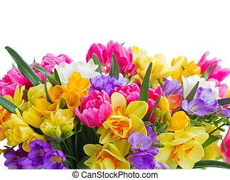 freesia and daffodil flowers border - multicolored freesia...