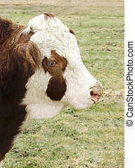 Hereford bull cow close up on farm - Hereford bull in...