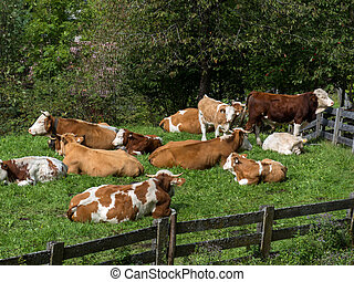 cows on a summer pasture - cows graze in the open air on a...