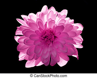 flower Chrysanthemum isolated on black