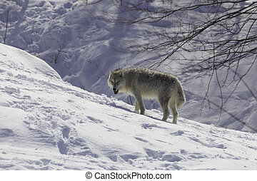 Arctic Wolf in snowy Landscape