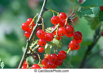 gooseberries - Ripe gooseberries on the bush