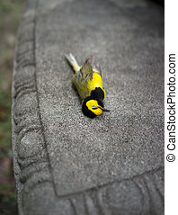 Dead Warbler Bird on Park Bench - Bright yellow Hooded...