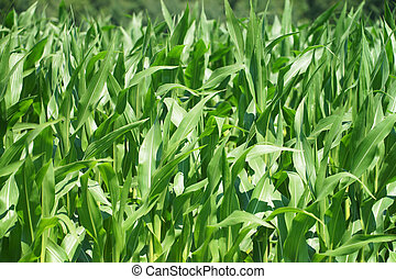Maize field - Corn Plants and maize field