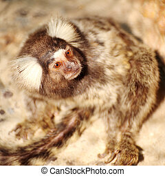 Marmoset looking - Close up Common Marmoset looking...