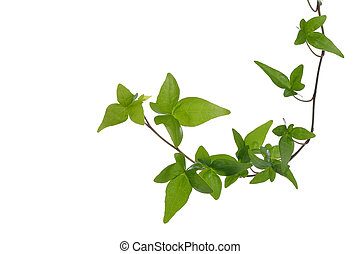 Green ivy plant isolated - Green ivy Hedera plant isolated...