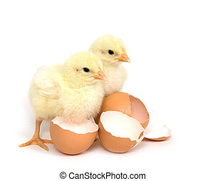 Two baby chicks and broken brown eggs - Two baby chicks...