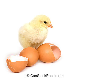 Baby chick and broken brown eggs - A baby chick stands next...