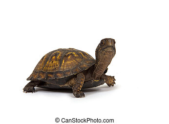 Box turtle on white background - A box turtle walks on a...