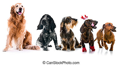 Set photos of dogs different breeds isolated - Set photos of...