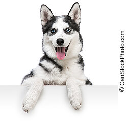 husky dog portrait above white - Happy husky dog portrait...