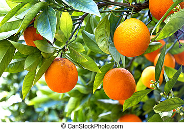 Orange trees in a citrus grove in Sicily