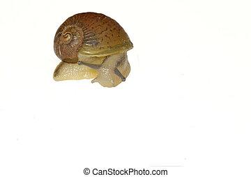 Snail - Portrait of a snail on a white background
